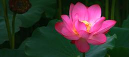lotus-695989-2